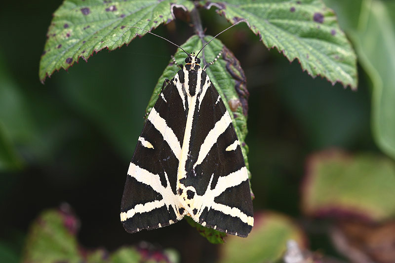 Jersey Tiger by Mick Dryden