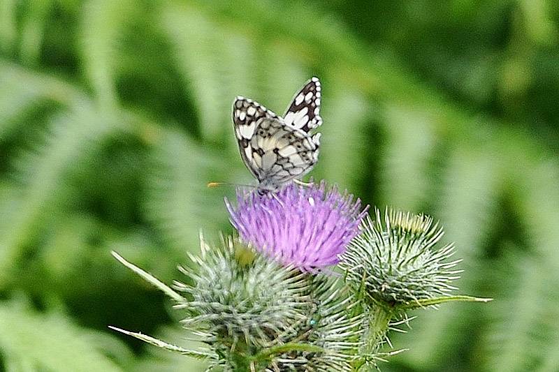 Marbled White by Alan Gicquel