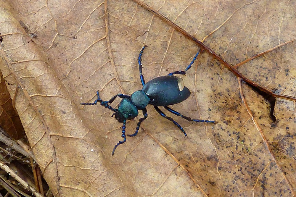 Oil Beetle by Richard Perchard
