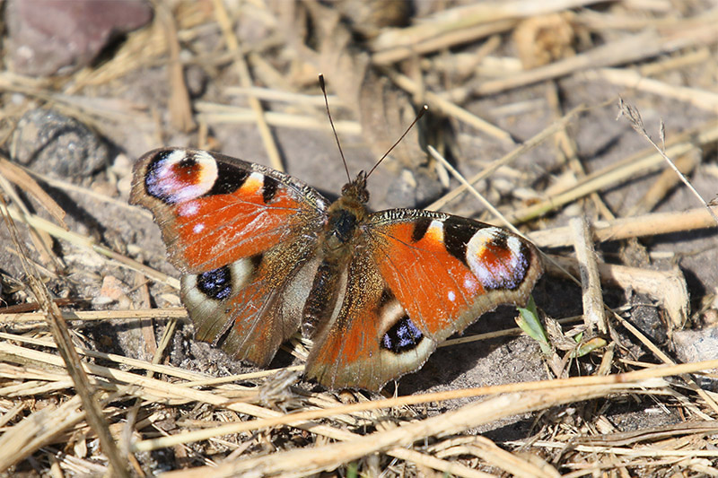 Peacock Butterfly by Mick Dryden