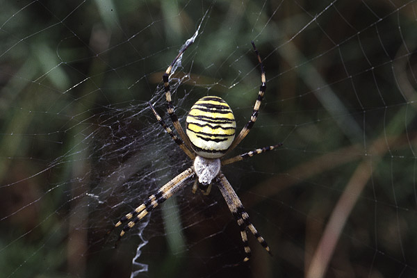 Wasp Spider by Richard Perchard