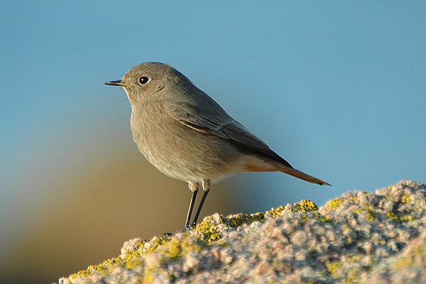 Black Redstart by Romano da Costa