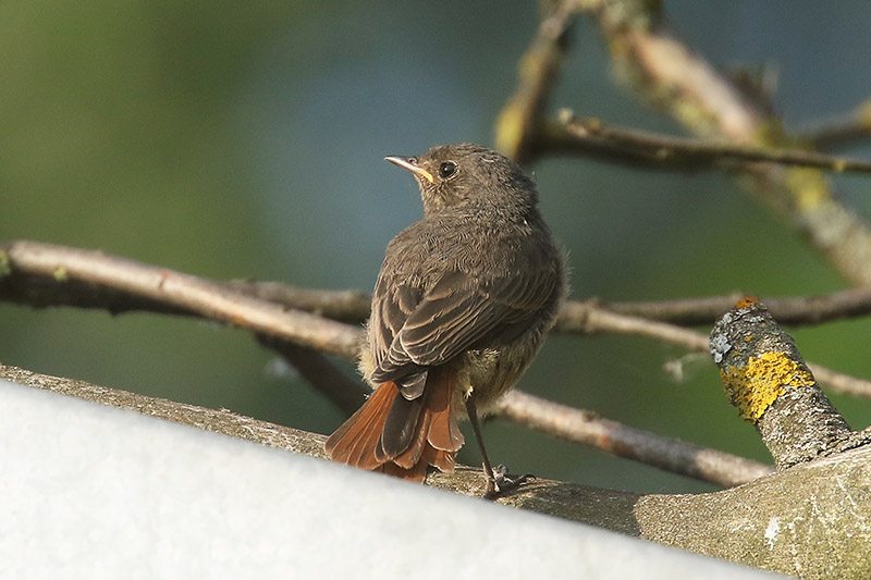 Black Redstart by Mick Dryden