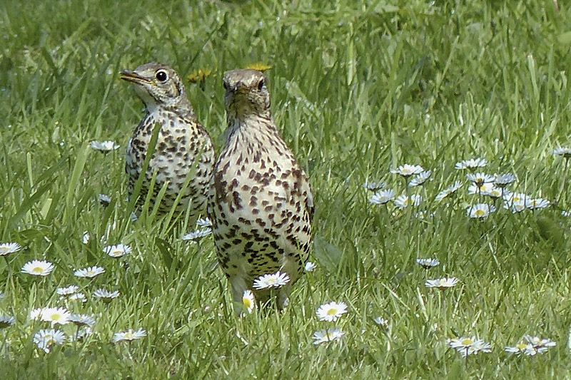 Mistle Thrushes by Annie Queree