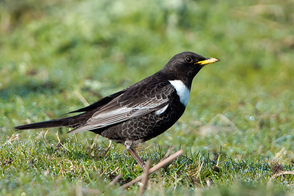 Ring Ouzel by Romano da Costa