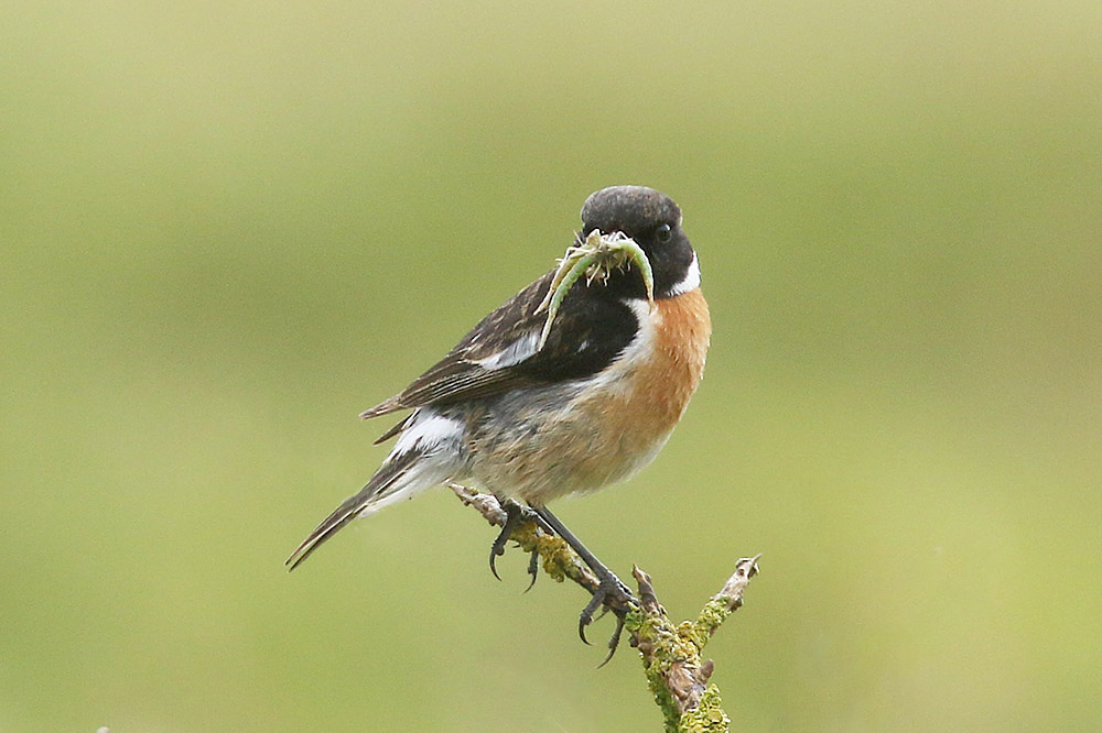 Stonechat by Mick Dryden