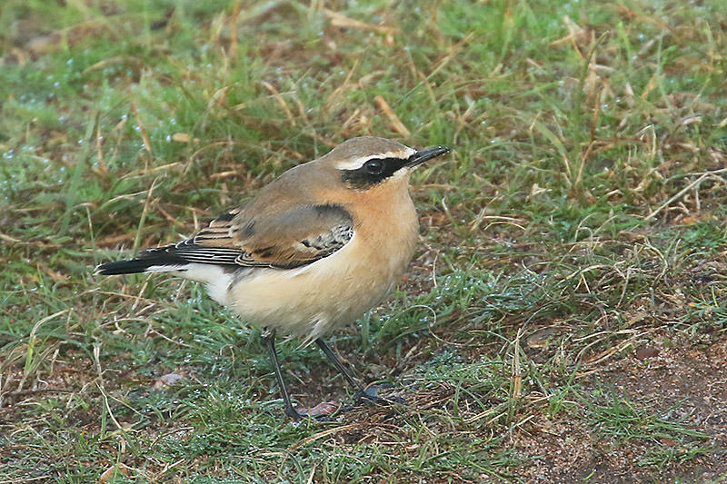 Wheatear by Mick Dryden