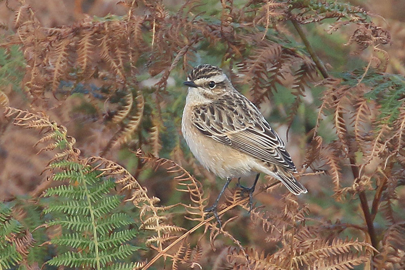 Whinchat by Mick Dryden