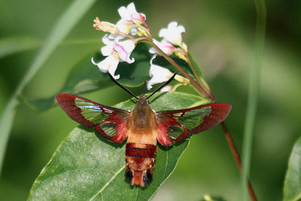 Hummingbird Clearwing Moth by Mick Dryden
