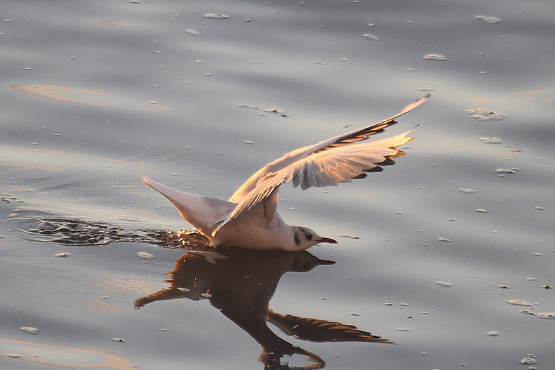 Black headed Gull by Mick Dryden