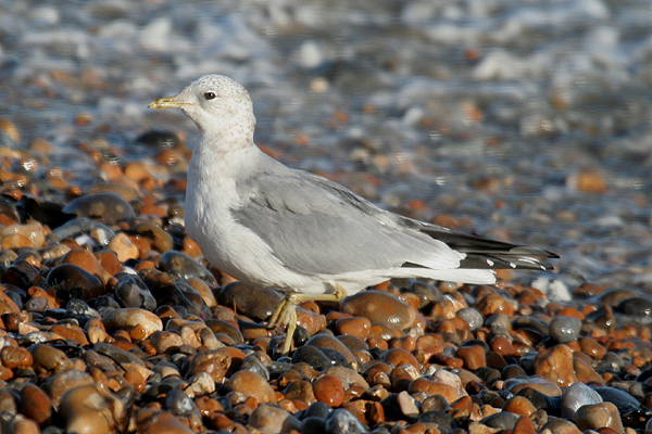 Common Gull by Mick Dryden