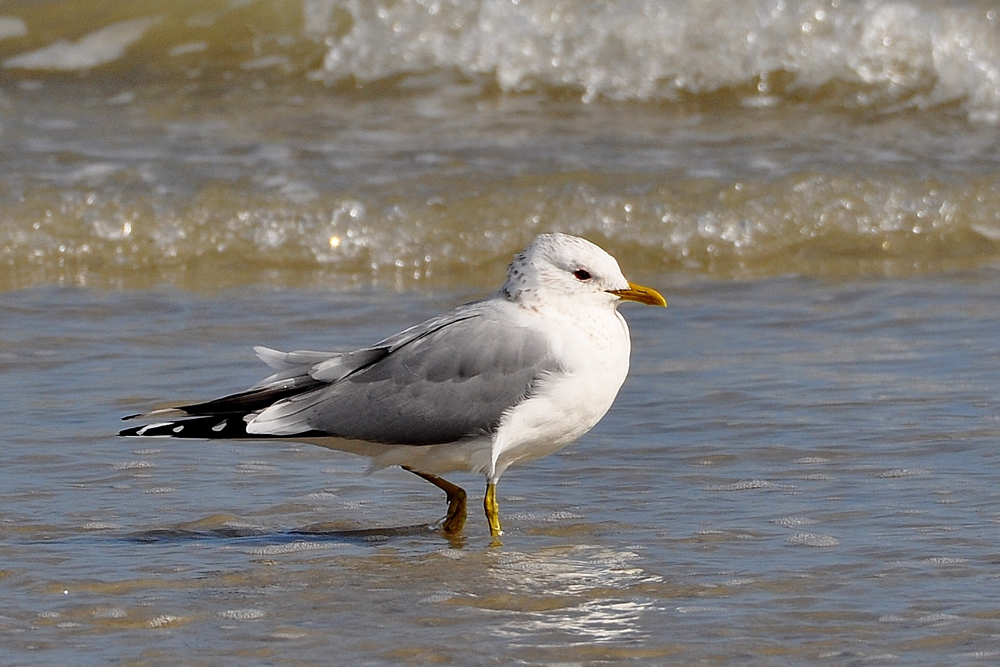 Common Gull by Alan Gicquel