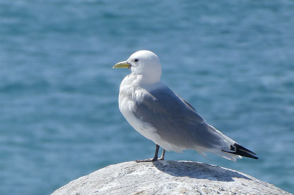 Kittiwake by Caroline Orpin