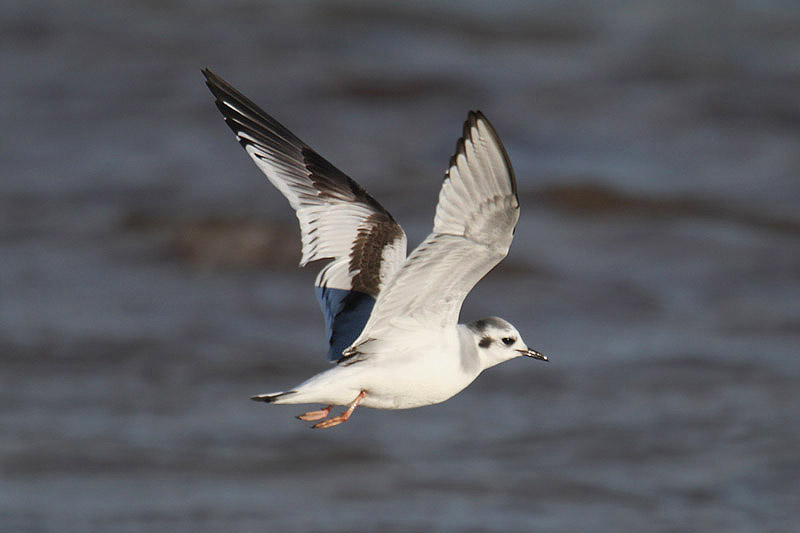 Little Gull by Mick Dryden