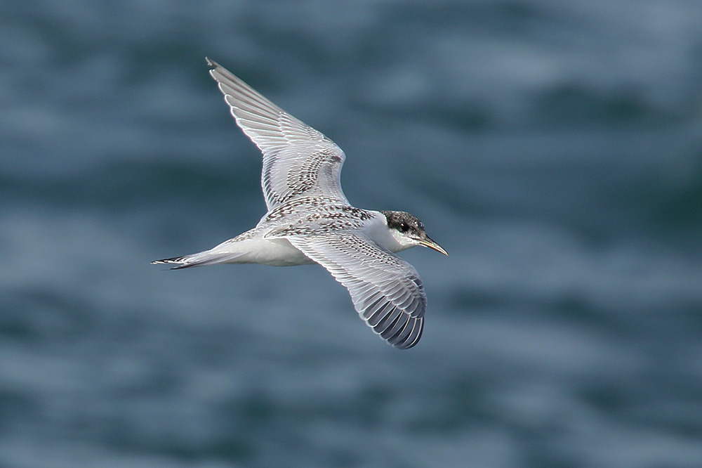 Sandwich Tern by Mick Dryden