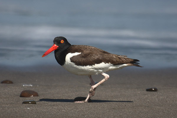 American Oystercatcher by Mick Dryden