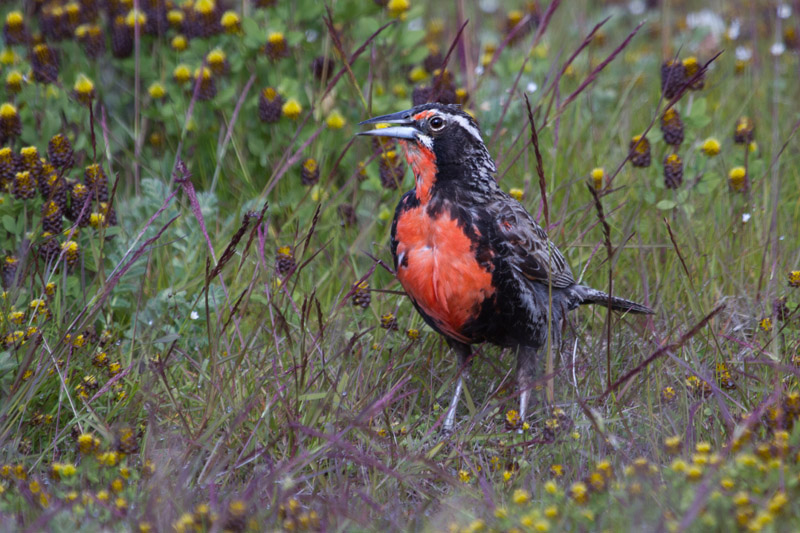 Long-tailed Meadowlark by Miranda Collett