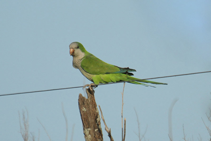 Monk Parakeet by Mick Dryden