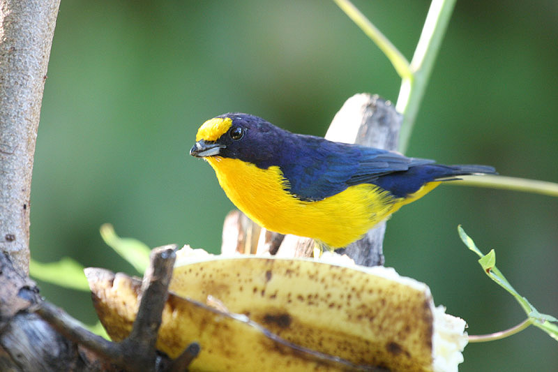 Violaceous Euphonia by Miranda Collett