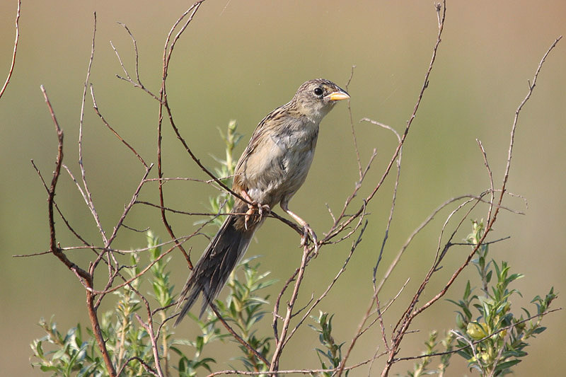 Wedge-tailed Grassfinch by Miranda Collett