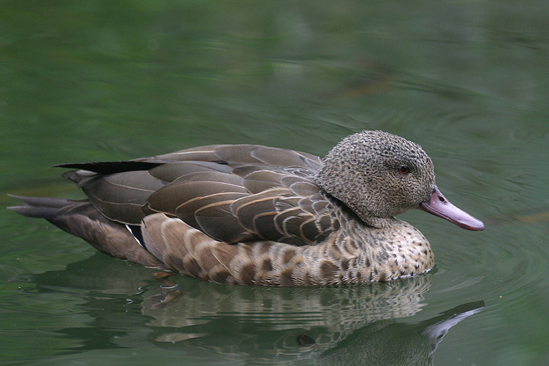 Madagascar Teal by Mick Dryden