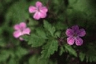 Herb Robert by Richard Perchard