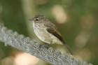 Dusky Flycatcher by Mick Dryden
