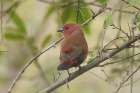 Jamesons Firefinch by Mick Dryden