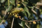 Yellow-fronted Canary by Mick Dryden