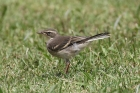 Cape Wagtail by Mick Dryden