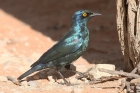 Cape Glossy Starling by Mick Dryden