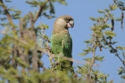 Brown-headed Parrot by Mick Dryden