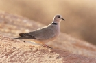 Cape Turtle Dove by Mick Dryden