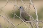 Emerald spotted Dove by Mick Dryden