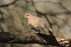 Laughing Dove by Mick Dryden