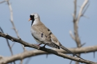 Namaqua Dove by Mick Dryden