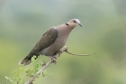 Red eyed Dove by Mick Dryden