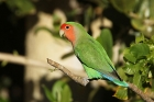 Rosy faced Lovebird by Mick Dryden