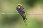 Lesser-striped Swallow by Mick Dryden