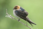 Lesser striped Swallow by Mick dryden
