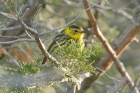 Cape May Warbler by Mick Dryden