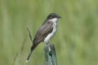 Eastern Kingbird by Mick Dryden