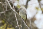 Least Flycatcher by Mick Dryden