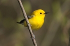 Prothonotary Warbler by Mick Dryden