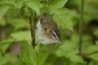 Red eyed Vireo by Mick Dryden