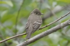 Western Wood Pewee by Mick Dryden