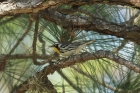 Yellow-throated Warbler by Mick Dryden