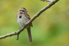 Song Sparrow by Mick Dryden