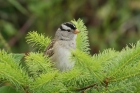 White-crowned Sparrow by Mick Dryden