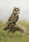 Long-eared Owl by Kris Bell